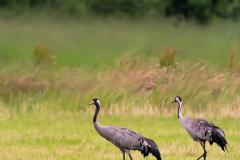 Kraanvogels